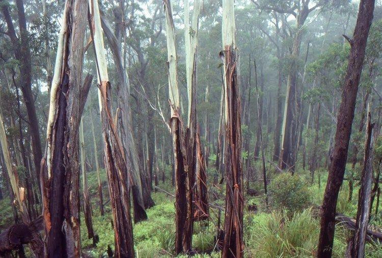 Eucalyptus oreades Panoramio Photo of Spokes Mtn firescarred Eucalyptus oreades