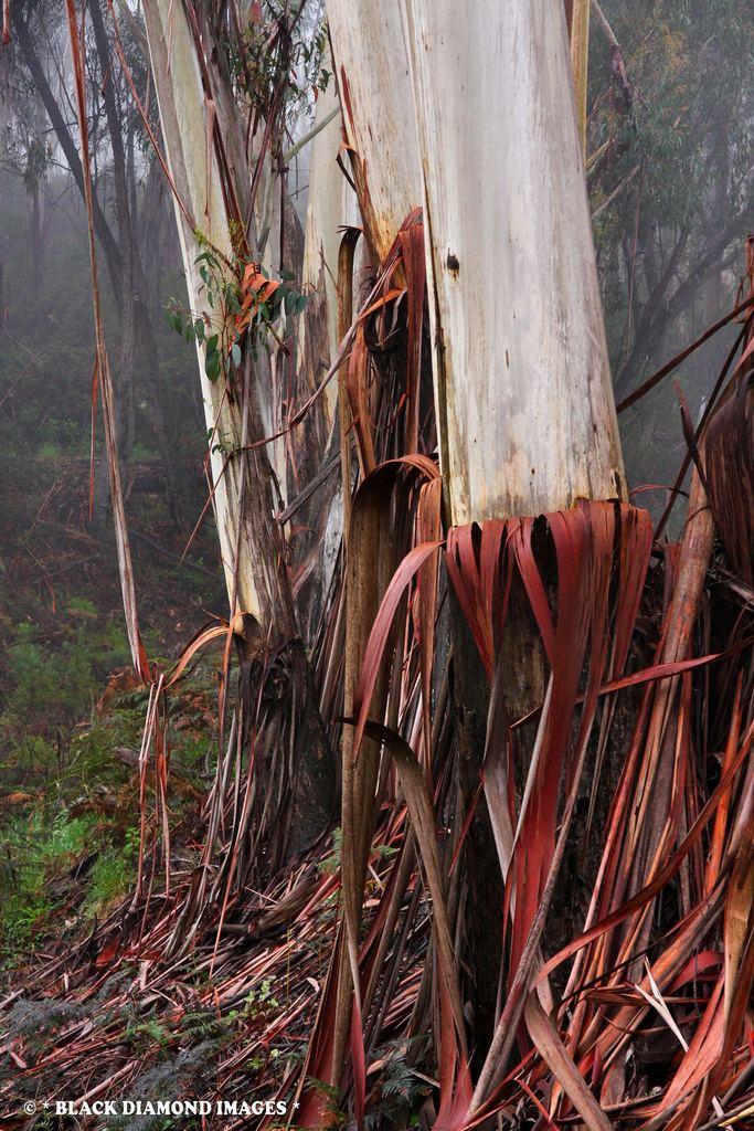 Eucalyptus oreades Eucalyptus oreades Blue Mountains Ash Copyright All Ri Flickr