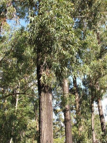 Eucalyptus paniculata grey ironbark 23363 English common name Eucalyptus paniculata