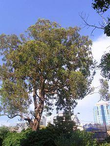Eucalyptus paniculata httpsuploadwikimediaorgwikipediacommonsthu