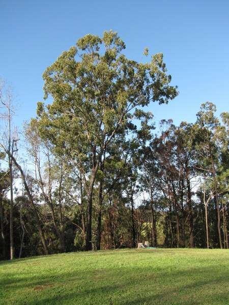Eucalyptus paniculata black ironbark 6472 English common name Eucalyptus paniculata