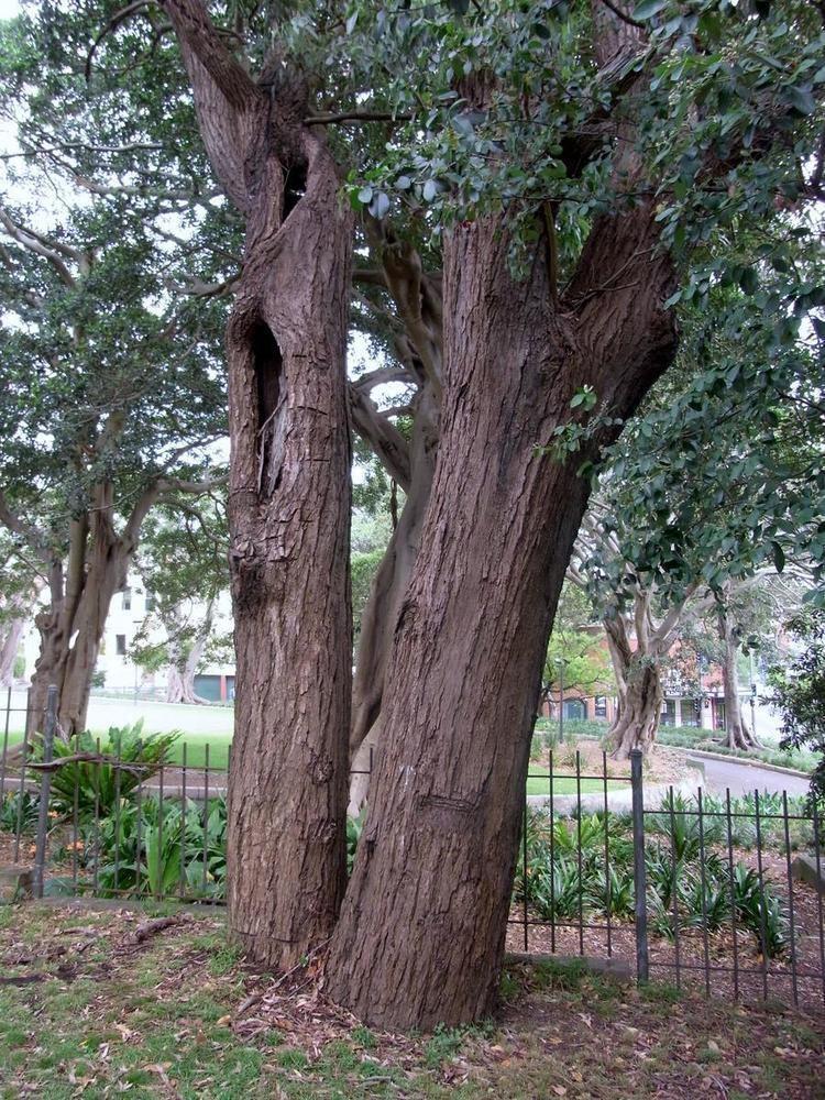 Eucalyptus paniculata Sydney TurpentineIronbark Forest Wikipedia
