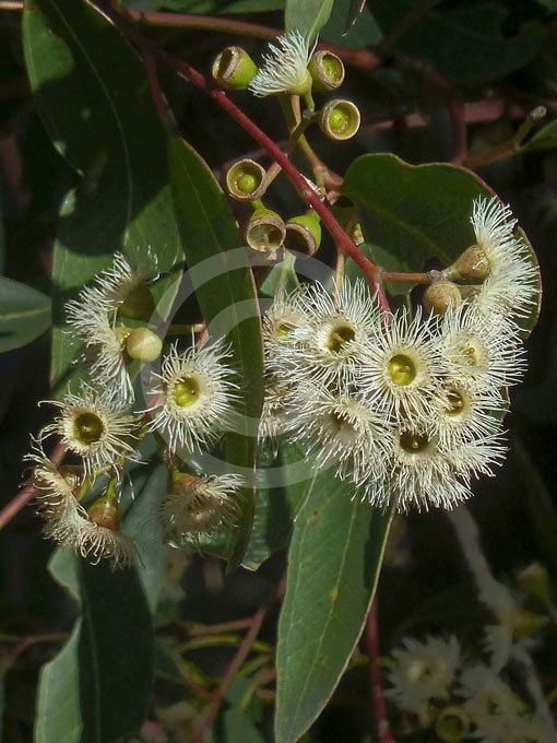 Eucalyptus paniculata Eucalyptus paniculata Grey Ironbark information amp photos