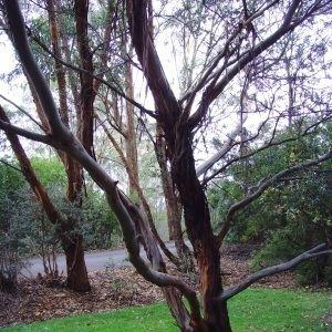 Eucalyptus parvula wwwrkmcomauPHOTOSAUSTRALIANNATIVEPLANTSEuc