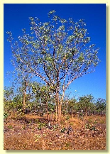 Eucalyptus phoenicea Factsheet Eucalyptus phoenicea