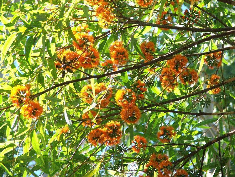 Eucalyptus phoenicea Eucalyptus phoenicea Myrtaceae Scarlet Gum Keith Townsend Flickr