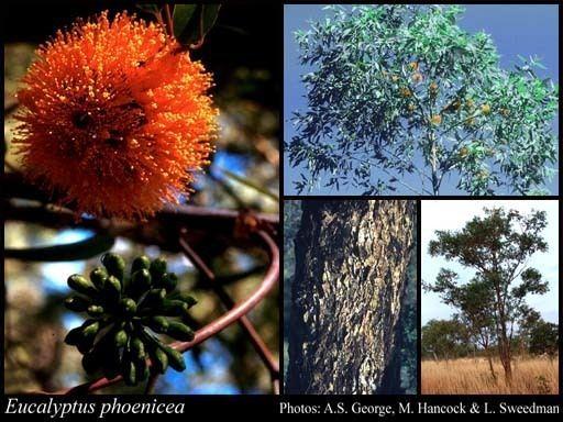 Eucalyptus phoenicea Eucalyptus phoenicea FMuell FloraBase Flora of Western Australia