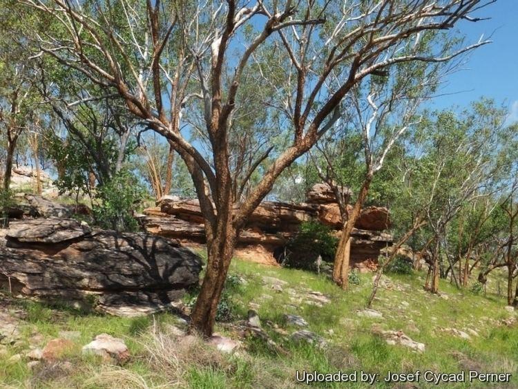 Eucalyptus phoenicea Eucalyptus phoenicea