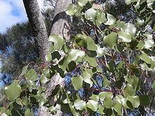 Eucalyptus populnea httpsuploadwikimediaorgwikipediacommonsthu