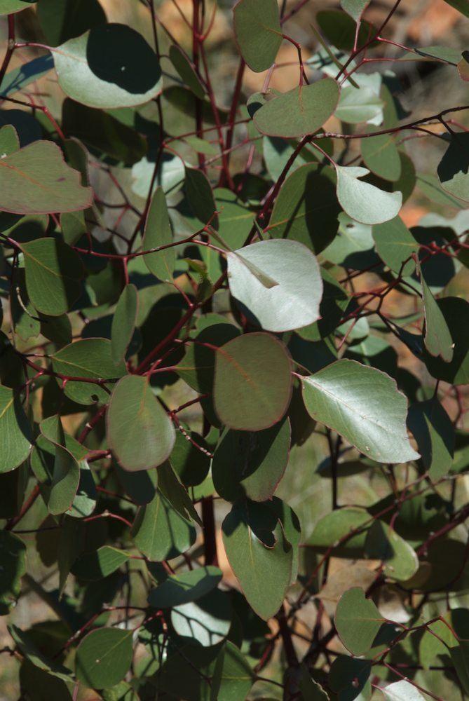 Eucalyptus populnea Eucalyptus populnea Myrtaceae image 38713 at PlantSystematicsorg