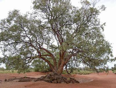 Eucalyptus populnea Factsheet Eucalyptus populnea