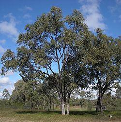 Eucalyptus populnea Eucalyptus populnea Wikipedia