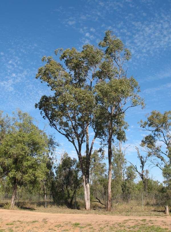 Eucalyptus populnea Bimble Box