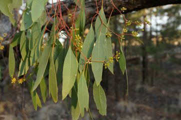 Eucalyptus populnea Eucalyptus populnea ZipcodeZoo