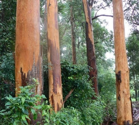 Eucalyptus propinqua Eucalyptus propinqua