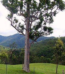 Eucalyptus propinqua httpsuploadwikimediaorgwikipediacommonsthu