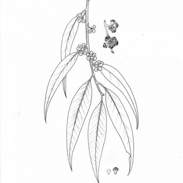 Eucalyptus propinqua Eucalyptus propinqua Noosa39s Native Plants