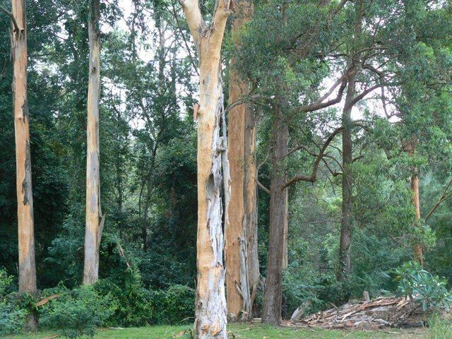 Eucalyptus propinqua Soil Displays Related Keywords amp Suggestions Soil Displays Long