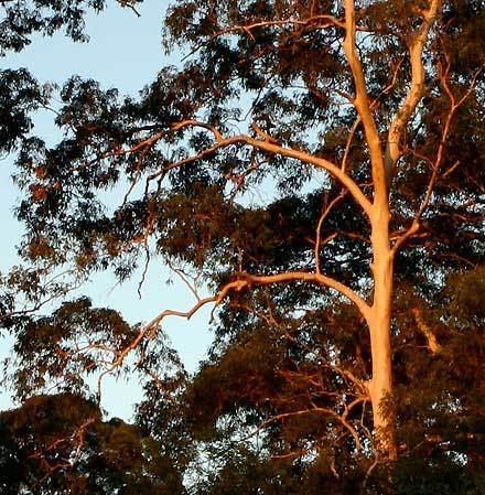 Eucalyptus propinqua Eucalyptus propinqua MYRTACEAE Smallfruited Grey Gum