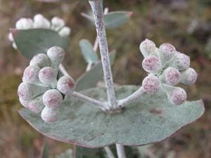 Eucalyptus risdonii Key to Tasmanian Dicots
