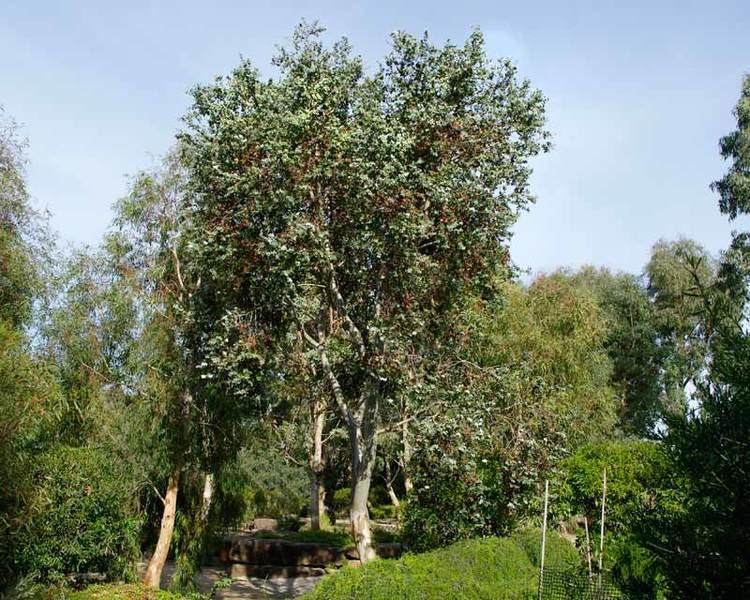 Eucalyptus risdonii GardensOnline Eucalyptus risdonii