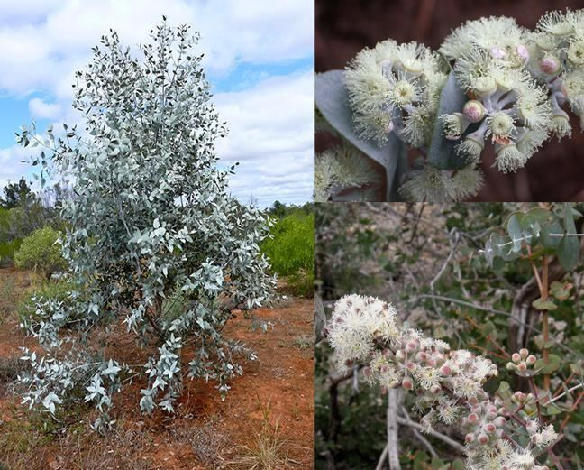 Eucalyptus risdonii Risdon Peppermint Eucalyptus risdonii Scarce Seed eBay