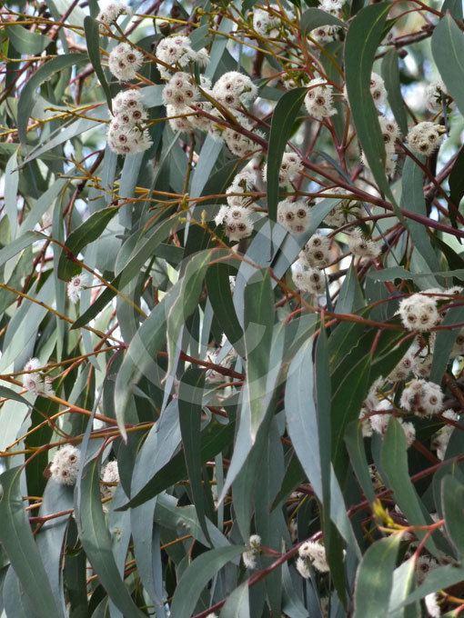 6b20a4a7d25c Eucalyptus sieberi Eucalyptus sieberi Silvertop Ash Black Ash information  amp photos
