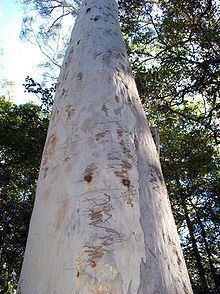 Eucalyptus signata httpsuploadwikimediaorgwikipediacommonsthu