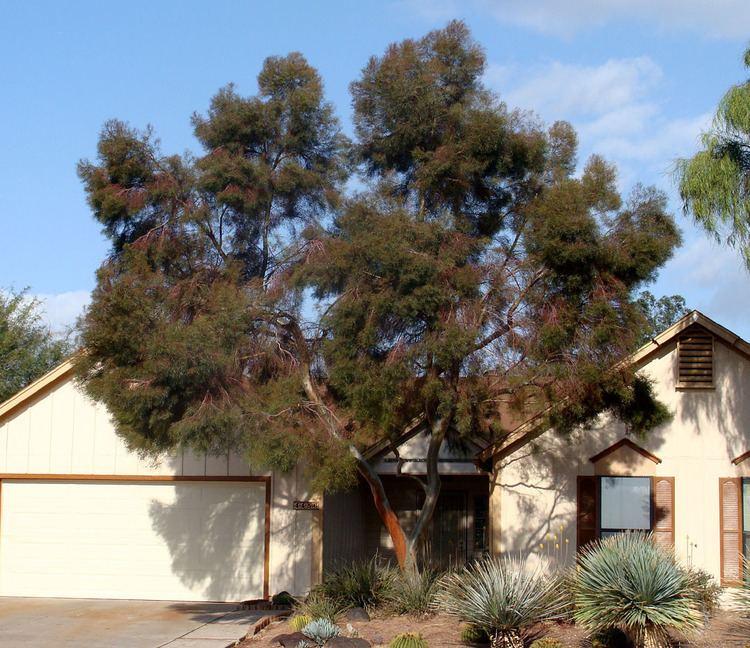 Eucalyptus spathulata Eucalyptus spathulata residentialjpg