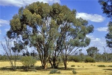 Eucalyptus spathulata Factsheet Eucalyptus spathulata