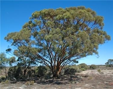 Eucalyptus spathulata wwwflorabankorgaulucidkeyspecies20navigator