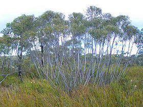 Eucalyptus stricta httpsuploadwikimediaorgwikipediacommonsthu