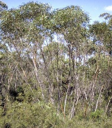 Eucalyptus stricta Eucalyptus stricta Blue Mountains Mallee Ash Evergreen Shrub Buy UK Shop
