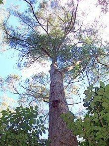 Eucalyptus tindaliae httpsuploadwikimediaorgwikipediacommonsthu