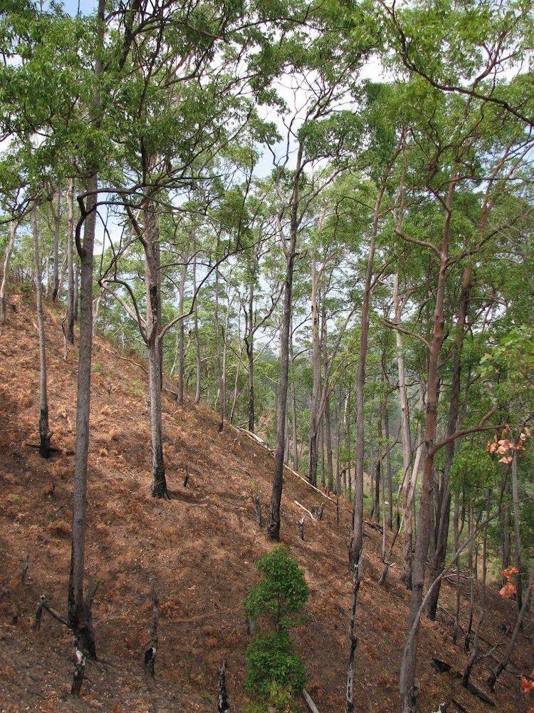 Eucalyptus urophylla httpsuploadwikimediaorgwikipediacommons99