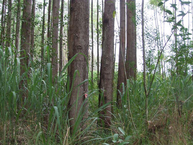 Eucalyptus urophylla Eucalyptus urophylla plantation Eucalyptus urophylla Timo Flickr