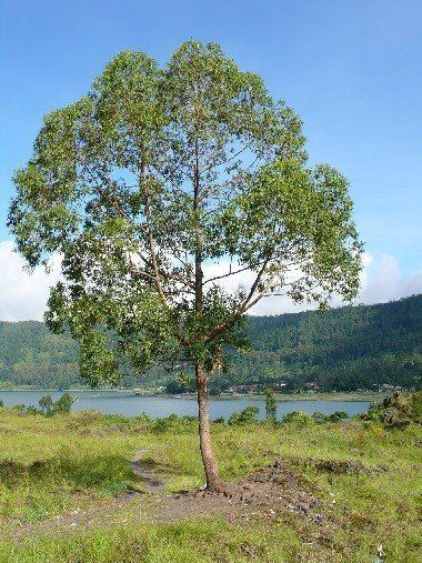 Eucalyptus urophylla Panoramio Photo of Eucalyptus Urophylla