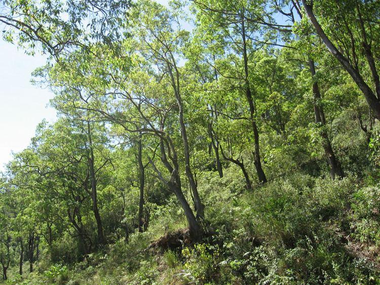 Eucalyptus urophylla Eucalyptus urophylla open forest photo Don photos at pbasecom