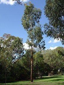 Eucalyptus viminalis httpsuploadwikimediaorgwikipediacommonsthu