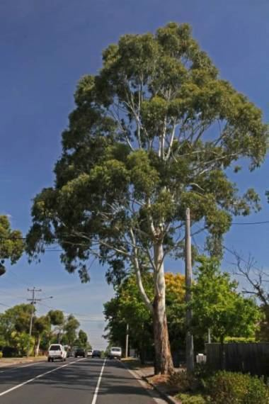 Eucalyptus viminalis City of Whitehorse Eucalyptus viminalis