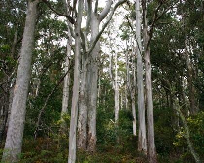Eucalyptus viminalis GardensOnline Eucalyptus viminalis
