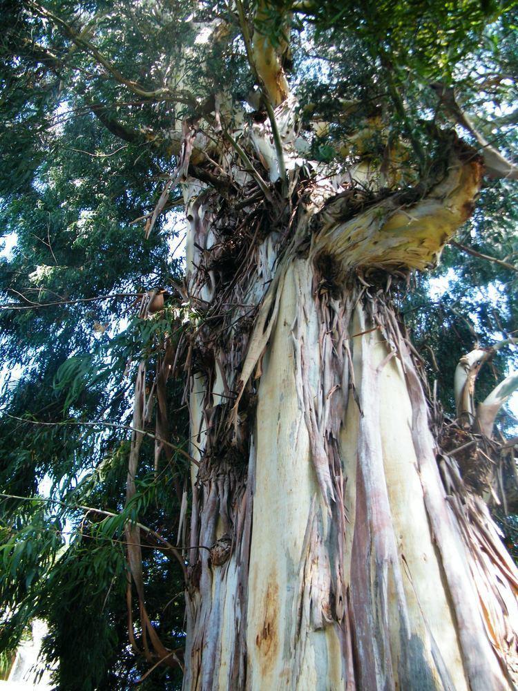 Eucalyptus viminalis Eucalyptus viminalis Images Useful Tropical Plants