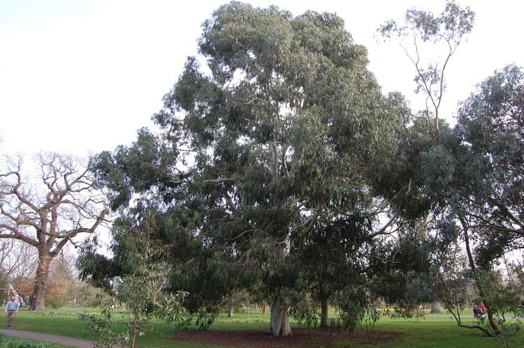 Eucalyptus viminalis Eucalyptus viminalis landscape architect39s pages