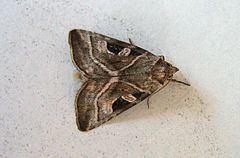 Eucarta virgo httpsuploadwikimediaorgwikipediacommonsthu