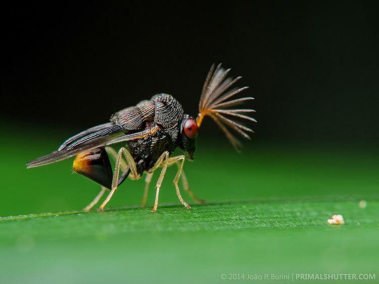 Eucharitidae Eucharitidae Parasitic wasp vespa parasita Joo P Burini Flickr