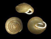 Euchemotrema httpsuploadwikimediaorgwikipediacommonsthu