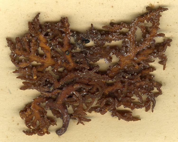 Eucheuma denticulatum Eucheuma denticulatum