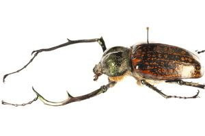 Euchirinae Systmatique A Visual Presentation of Euchirinae Coleoptera