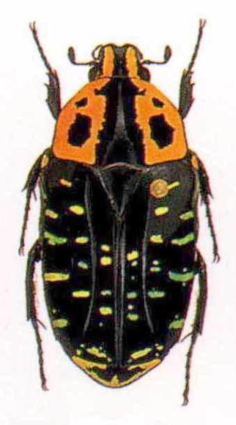 Euchroea Euchroea Scarabaeidae Cetoniinae