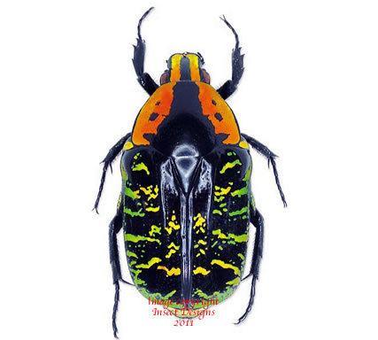 Euchroea Insect Designs Beetles Cetonidae Euchroea clementi riphaeus